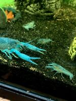 Electric Blue Crayfish/Crawfish/Crawdad - BUY 2 GET 1 FREE, FREE SHIPPING
