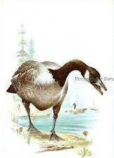 Dazzling CANADA GOOSE Bird Print