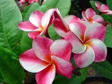"Plumeria, Rooted Seedling Plant With Beautiful Flowers, ""Elsie"""