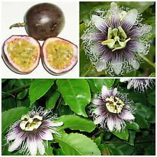 10 semi di Passiflora edulis f. edulis, frutto della passione, maracuja
