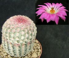 Echinocereus Rubispinus choice pink-spined 6cm collectors Mexican cactus