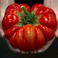 36 Bio Samen Erbstück Riesen Tomatensamen Haus Garten Dekor NEU X3L9