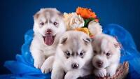 CUTE SIBERIAN BABY HUSKY'S GLOSSY POSTER PICTURE PHOTO beautiful puppy dog 2316