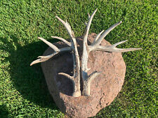 huge whitetail antlers