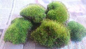 Just Moss 500g pack - Vey healthy LIVE Moss