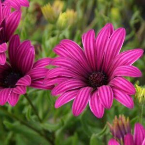 3x Osteospermum Tresco Purple African Daisy Hardy Flower Well Rooted Plug Plants
