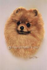 Pomeranian Print by Robert J. May