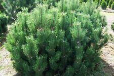 2x Pinus Mugo Conifer - Dwarf Mountain Pine - Bare Root Large Plant