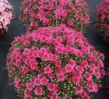 Padre Pink Garden Mums/Belgian Mums Live Annual Now 6 Flowering Plants