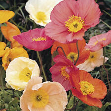 35+ POPPY ICELAND CHAMPAGNE BUBBLES MIX FLOWER SEEDS / PAPAVER / DEER RESISTANT