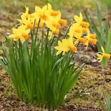 "25 Daffodil Bulbs Narcissi ""Jetfire"" Dwarf Spring Flowering Narcissus Bulbs"