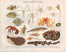 Chromo-Lithografie 1894: Entwicklungsgeschichte d Tiere. Garnele Seepocke Krebs