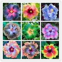200stücke Riesen Hibiscus Samen 24 arten Hibiscus Rosa-sinensis Blumensamen R2W9
