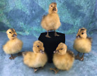 One fluffy Posable taxidermy Long Island Domestic Captive Duck Baby duckling