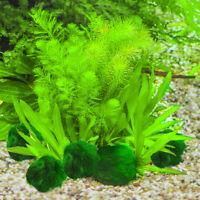Marimo Moss Balls Live Aquarium Plant Algae Fish Shrimp Tank Ornament Beauty