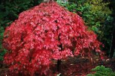Japanese Maple  (Acer palmatum)  30   Seeds