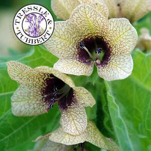 RARE Black Henbane Hyoscymus Niger 20 seeds UK SELLER