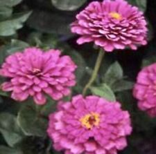 Zinnia Gigantica Lilac 50 Seeds Free Shipping Usa Grown