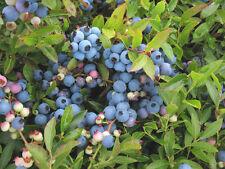 XXX rare seeds - bulk -- vaccinium myrtilloides -- velvetleaf blueberry 50 seeds