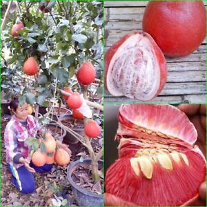 Grafted Plant Red Pomelo tree Citrus maxima Rare Variety RED VIET NAM