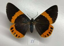 Geometridae milionia basalis femelle mounted borneo full data