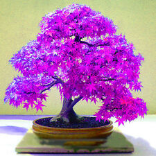 "30 X Home Garden Decor Plants seeds ""purple maple ghost"" bonsai seed^"