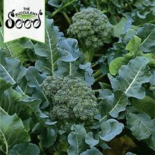 BROCCOLI - Green Sprouting Calabrese (1000 Seeds) HEIRLOOM Bulk
