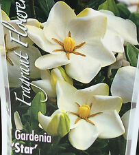 GARDENIA STAR jasminoides very strong fragrant flowers plant in 140mm pot