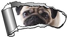Grande Rasgado abierta hueco entre dientes Rasgado Metal Lindo Perro Mascota Pug & Ojos Tristes Auto Adhesivo Calcomanía