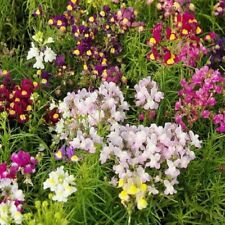 Spurred Snapdragon Flower Seeds - Garden Seeds - Bulk - 40,000 Seeds