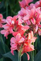 das Blumenrohr vermehrt sich durch Rhizome und sorgt für noch mehr Blütenpracht.