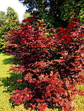Japanese Maple Trees For Sale Ebay
