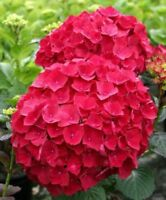 15PCs Red Hydrangea Flower Seeds Big Blooms Ball Macrophylla Plants Home Garden