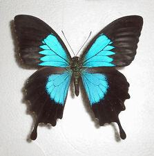 PAPILIO ULYSSES ssp.NIGERRIMUS male(papered/getütet) BOUGAINVILLE(PNG)