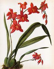 Vintage Botanical Print Orchid Flower Print Wall Art, Cochlioda densiflora (O62)