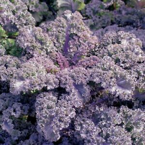 Kale (Borcole) 'Scarlet' - Vegetable Plants (6 or12 plugs)