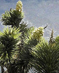 Desert Joshua Tree Blooms II Fruit Bright Fine Art Print