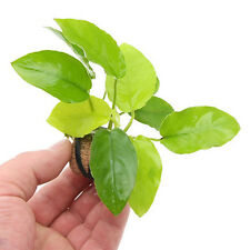 Anubias Golden Nana Loose Rhizome Barteri Live Aquarium Plants BUY2GET1FREE*