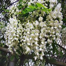 CHINESE PAGODA TREE SEEDS SOPHORA JAPONICA FLOWERING FEATURE 20 SEED PACK