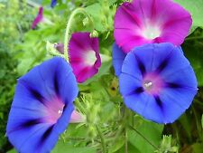 50 MIXED MORNING GLORY IpomeaPurpurea Flower Vine Seeds