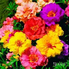 Flower Seeds Portulaca grandiflora terry Mix from Ukraine