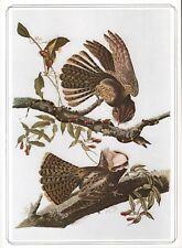 Chuck Wills Widow -1979 Beautiful Colour Vintage Bird Print John James Audubon
