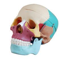 A grandezza naturale Umano skull anatomia modello con ossa colorata-Modello anatomico