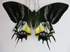 PA3025. Unmounted butterflies: Teinopalpus eminens. South Vietnam