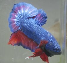New listing live betta Tropical Betta Fish-dragon Hm plakat betta K15