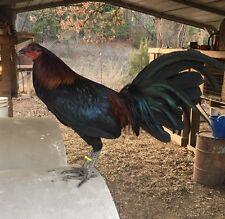 6 RACY MUGS Chicken Hatching Eggs GAMEFOWL !!!