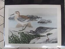 Original   Rex Brasher#235 Hand Colored Bird Print Purple Sandpiper #235REX2 DSS