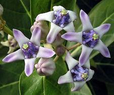 50 Seeds | Calotropis gigantea Purple | Giant Milkweed | Butterflies Love