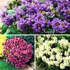 Auto Sanar Mix-Prunella grandiflora - 120 Semillas-Flor rocosa
