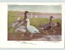 1936 Color Bird Plates Louis Agassiz Fuertes Goose Snow Swan Whistling Brant